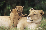 Kenya, Mother Lion with Cubs Photographic Print by Kent Foster