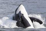USA, Alaska. Orca Whale Breaching Fotografisk tryk af Jaynes Gallery