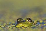 Edible Frog in the Danube Delta in Duckweed, Romania, Danube Delta Photographic Print by Martin Zwick
