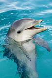 Bottlenose Dolphin Calf. Seaquarium, Curacao, Netherlands Antilles Fotografisk tryk af Barry Brown