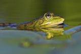Edible Frog in the Danube Delta, Romania, Romania, Danube Delta Photographic Print by Martin Zwick