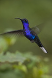 Violet Sabrewing Hummingbird. Monteverde. Costa Rica. Central America Photographic Print by Tom Norring