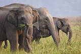 Indian Asian Elephants Displaying Grass, Corbett National Park, India Photographic Print by Jagdeep Rajput