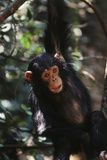 Africa, Young Chimpanzee Hanging at Forest Photographic Print by Kristin Mosher