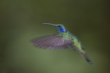 Green Violet-Ear Hummingbird. Monteverde. Costa Rica. Central America Photographic Print by Tom Norring