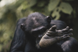Tanzania, Gombe Stream National Park, Chimpanzee Foot, Close-Up Photographic Print by Kristin Mosher