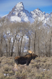 Moose in Field, Grand Teton, Teton Mountains, Grand Teton NP, WYoming Photographic Print by Howie Garber