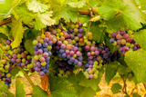 USA, Washington, Okanogan Valley. Pinot Grapes Ripen During Veraison Fotodruck von Richard Duval