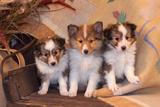 Three Shetland Sheepdog Puppies Sitting on a Buckboard Photographic Print by Zandria Muench Beraldo