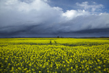 Rapeseed Field and Storm Clouds, South Canterbury, New Zealand Photographic Print by David Wall