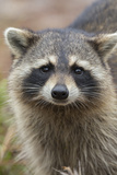 Raccoon, Procyon Lotor, Florida, Usa Photographic Print by Maresa Pryor