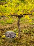USA, Washington, Klickitat. Pinot Grape Harvested from a Vineyard Photographic Print by Richard Duval