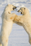 Polar Bears, Sparring Churchill Wildlife Management Area Churchill Mb Photographic Print by Richard ans Susan Day