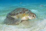 Green Sea Turtle Feeding on Sea Grass. Curacao, Netherlands Antilles Photographic Print by Barry Brown