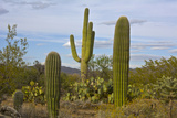 Saguaro and Prickly Pear, Rincon District, Saguaro NP, Arizona, Usa Fotografisk trykk av Michel Hersen