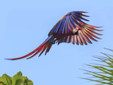 Scarlet Macaw in Flight. Costa Rica. Central America Photographic Print by Tom Norring