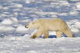 Polar Bear Walking, Hudson Bay Churchill Wildlife Area, Churchill, Mb Photographic Print by Richard ans Susan Day