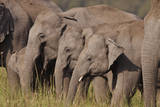 Young Indian Asian Elephants, Corbett National Park, India Photographic Print by Jagdeep Rajput