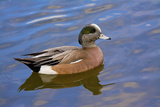 Male, American Wigeon, Swimming, Commonwealth Lake Park, Oregon, Usa Photographic Print by Michel Hersen