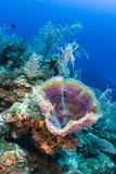 Azure Vase Sponge, Jardines De La Reina National Park Cuba, Caribbean Fotografie-Druck von Pete Oxford