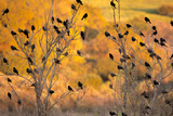 Red-Wing Blackbirds, Sunset, Santa Monica Mountains Nra, California Photographic Print by Rob Sheppard