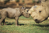 Africa, Captive Southern White Rhino with Young Photographic Print by Roy Toft