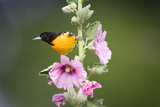 Baltimore Oriole Male on Hollyhock. Marion, Illinois, Usa Photographic Print by Richard ans Susan Day