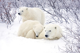 Polar Bears, Female and Two Cubs, Churchill Wildlife Area, Mb Photographic Print by Richard ans Susan Day