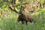 Bull Moose Bedded Down in Wildflowers, Wasatch-Cache Nf, Utah Photographic Print by Howie Garber