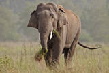 Indian Asian Elephant, Tusker, Feeding, Corbett National Park, India Photographic Print by Jagdeep Rajput