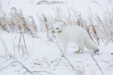 Arctic Fox in Winter Churchil Wildlife Management Area Churchill, Mb Photographic Print by Richard ans Susan Day