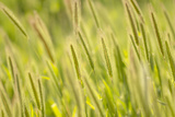 Barley, Santa Monica Mountains National Recreation Area, California Photographic Print by Rob Sheppard