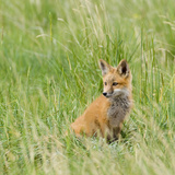 Red Fox Kit in Grass Near Den, Saratoga, WYoming Photographic Print by Howie Garber
