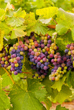 USA, Washington, Okanogan Valley. Pinot Grapes Ripen During Veraison Photographic Print by Richard Duval