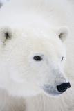 Polar Bear, Churchill, Mb Canada Reproduction photographique par Richard ans Susan Day