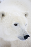 Polar Bear, Churchill, Mb Canada Photographic Print by Richard ans Susan Day