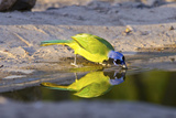 USA, Texas, Rachal, Tacubaya, Green Jay Drinking Water, Reflection Photographic Print by Bernard Friel