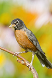 American Robin Perched in Flower Garden, Marion, Illinois, Usa Photographic Print by Richard ans Susan Day