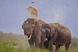 Pair of Indian Asian Elephant, Corbett National Park, India Photographic Print by Jagdeep Rajput