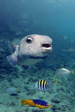 Portrait of a Porcupinefish. Curacao, Netherlands Antilles Photographic Print by Barry Brown