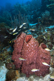 Giant Barrel Sponge. Curacao, Netherlands Antilles Photographic Print by Barry Brown