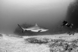 Caribbean Reef Shark, and Diver, Jardines De La Reina National Park Photographic Print by Pete Oxford