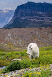 Mountain Goat Feeding , Glacier NP, UNESCO Near Kalispell, Montana Photographic Print by Howie Garber