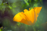 California Poppy, Southern California Photographic Print by Rob Sheppard