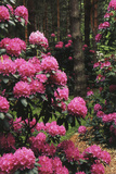 Ohio, Birmingham, Schoepfle Arboretum, Rhododendron Superbum Photographic Print by Ian Adams