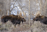 Bull Moose in Field with Cottonwood Trees, Grand Teton NP, WYoming Photographic Print by Howie Garber