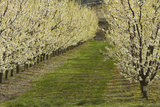 Orchard, Earnscleugh, Central Otago, South Island, New Zealand Photographic Print by David Wall