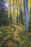 USA, Colorado. Scenic of Aspen Forest Photographic Print by Jaynes Gallery