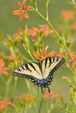 Eastern Tiger Swallowtail on Blackberry Lily, Marion, Illinois, Usa Photographic Print by Richard ans Susan Day