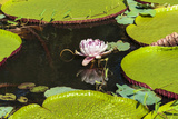 Suriname, Paramaribo. Water Lily and Lily Pads at Fort Nieuw Amsterdam Photographic Print by Alida Latham